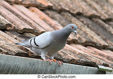 purebreed pigeon on roof