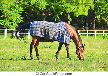 Purebreed red horse in pasture near stable