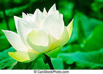 pureté, bassin, fleur, lotus, blanc