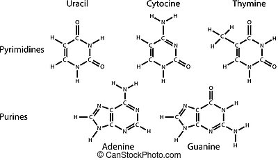 Purines and pyrimidines nitrogenous base, 2d illustration of structural chemical formulas vector illustration
