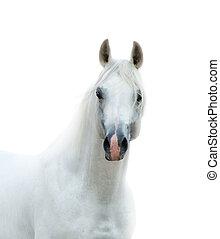 puro, cavalo branco, isolado