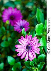 purpere bloemen, achtergrond