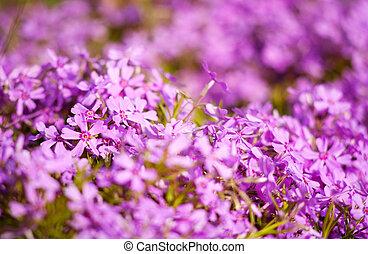 purpere bloemen, als, natuurlijke , abstract, achtergronden, met, beauty, bokeh