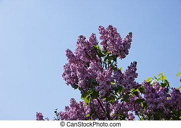 purpere bloemen, op, een, boompje, seringen, welen seizoen op