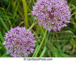 Purple Allium Flowers Growing in a Sunny Garden