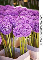 Image of purple allium blossoms.