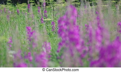 Purple Alpine Fireweed