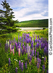 Purple and pink garden lupin flowers - Purple and pink...