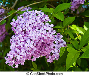 Purple and Pink Lilac Clusters Blooming in Springtime
