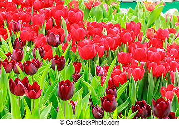 purple and red tulip
