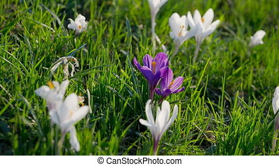Purple and white crocuses on green grass tremble on the...
