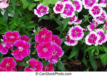 photo of purple dianthus (flowers background)