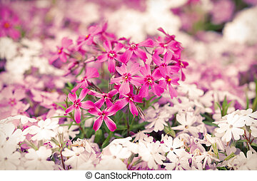 Purple and white flowers blooming in springtime season