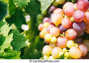Purple and white grape vines