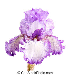 Purple and white iris flower isolation - Close-up of a ...