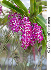 purple and white orchid on nature background, Rhynchostylis...