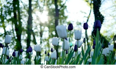 purple and white tulips in the forest