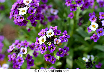 purple and white verbena flower