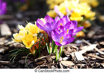 Purple and yellow crocus in garden