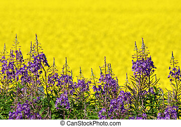 Purple and yellow field flowers - Purple loosestrife;...