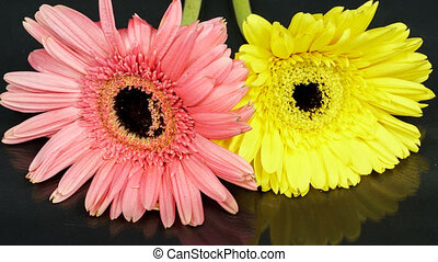 Purple and yellow gerbera flowers withering time lapse -...