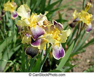 Purple and yellow iris 2