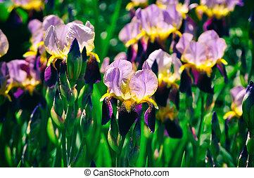 Iris flower blooming in summer time