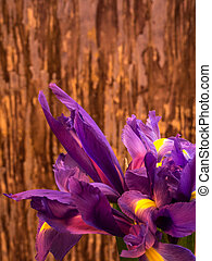 purple and yellow iris with copy space on blurred background