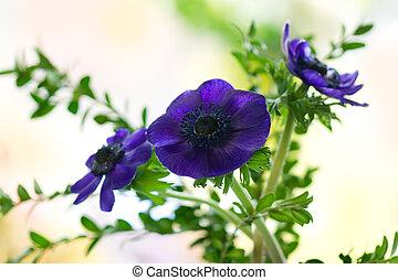 purple anemones   - Bunch of purple anemones