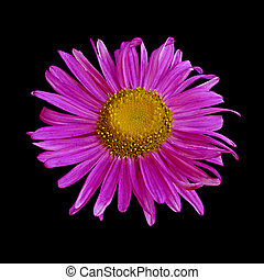 Purple aster isolated on a black background