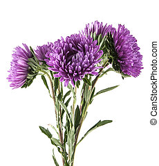 purple aster isolated on white background