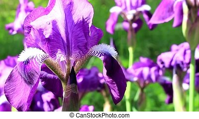 Purple, beautiful flower