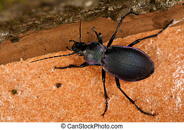 Purple Beetle - Beautiful beetle - carabus problematicus - ...