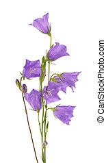 Purple bell flower isolated on white background. Beautiful blooming bouquet.