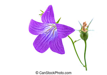 Purple bell flower on a white background