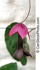 Purple Bell Vine 2