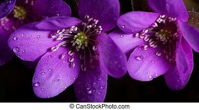 Purple blooms - Two purple blooms with dew, spring shot,...