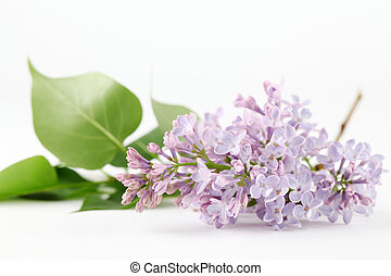 Purple-blue lilac - Beautiful fragrant purple-blue lilac on...
