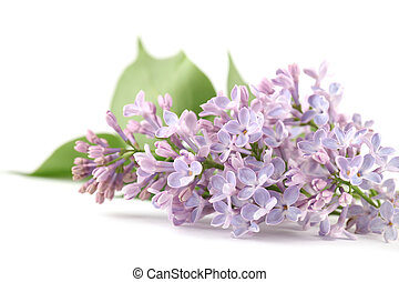 Purple-blue lilac