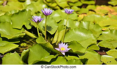 Purple blue water Nymphaea in a pond with a fountain. Water garden. Beautiful flower.