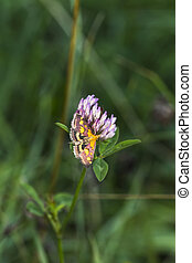 A purple borer is sitting on red clover