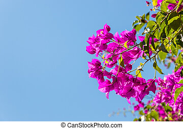 purple bougainvillea flowers against blue sky