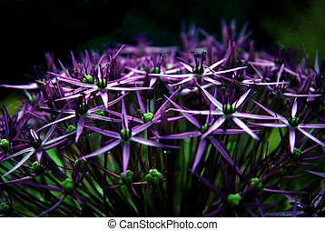 purple bulbous allium flower head