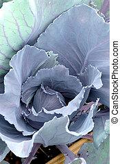 Purple Cabbage Head