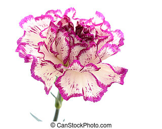 Purple carnation - Isolated purple and white carnation...