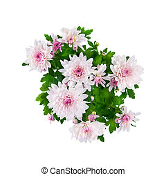 purple chrysanthemum bouquet isolated on white
