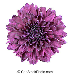 Purple Chrysanthemum Flower Isolated on White Background