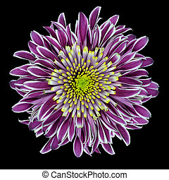Purple Chrysanthemum Flower with Lime Green White Center Isolated on White Background