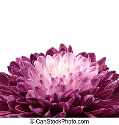 Purple Chrysanthemum Flower with White Center Isolated on...