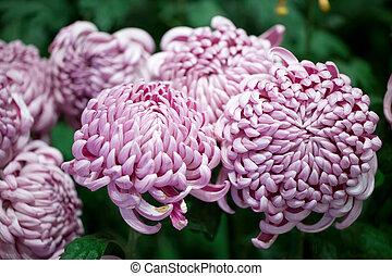 purple chrysanthemum flowers background